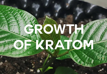Growth of Kratom